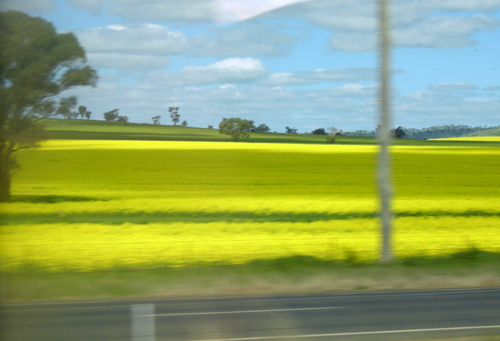 blooming canola!