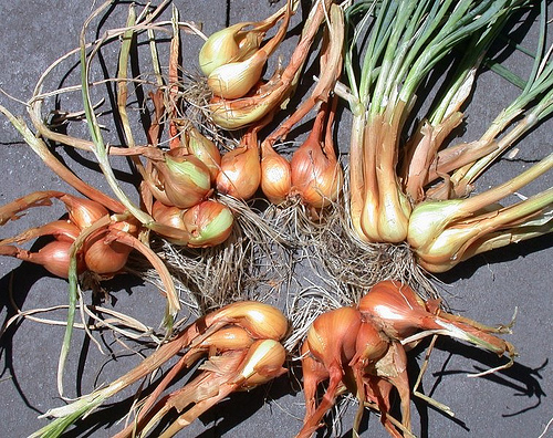 Shallots Harvested Cleaned