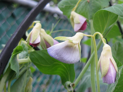 Golden Sweet Snow Peas