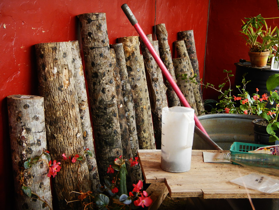 Shiitake mushroom logs in the strawbale greenhouse